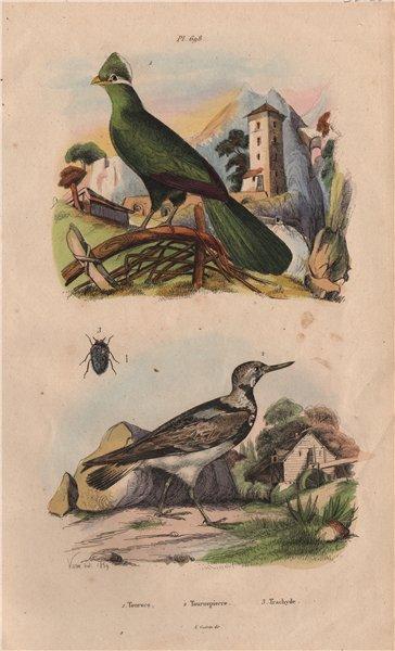 Associate Product Touroco (Guinea Turaco bird). Tournepierre (Eurasian Wryneck). Trachyde 1833