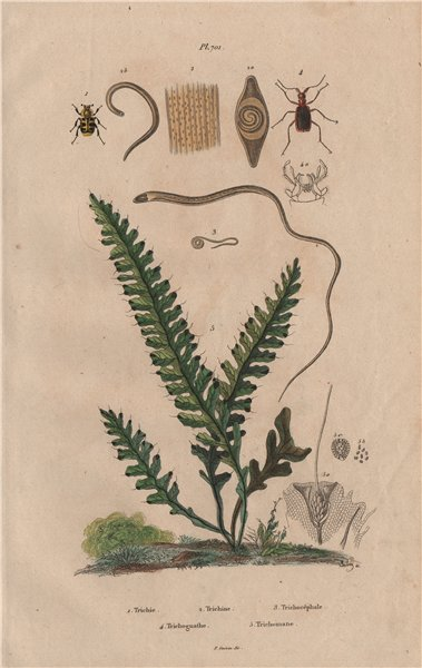Associate Product Trichius.Trichina.Whipworm.Trichognathe.Trichomane (Climbing Bristle Fern) 1833