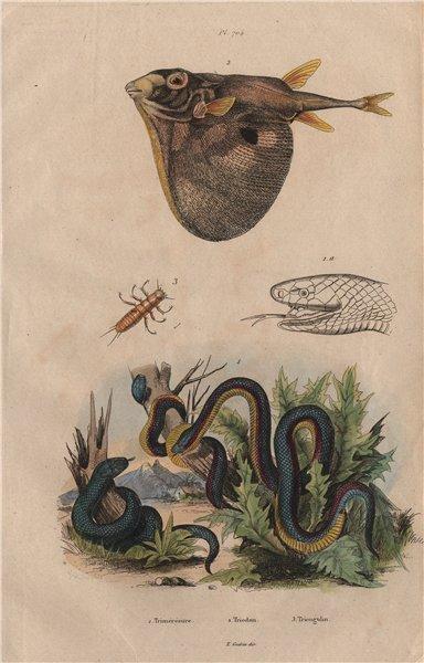 Associate Product Trimérésure (Gartersnake). Triodon (Threetooth pufferfish) Triongulin 1833