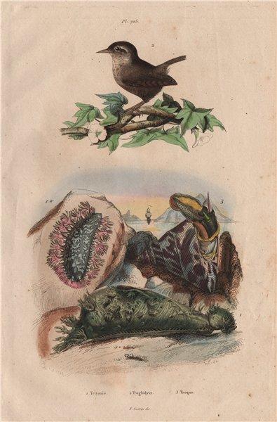 Associate Product Tritonia (gastropod). Troglodyte (Wren). Trochidae (Top Snails) 1833 old print