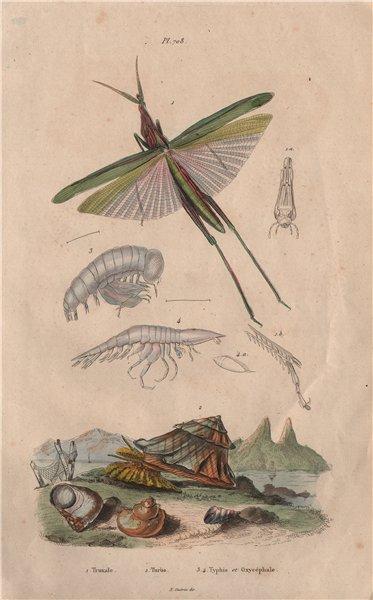 Associate Product Truxalis. Turbo cornutus (Horned Turban). Typhis Oxycéphale 1833 old print