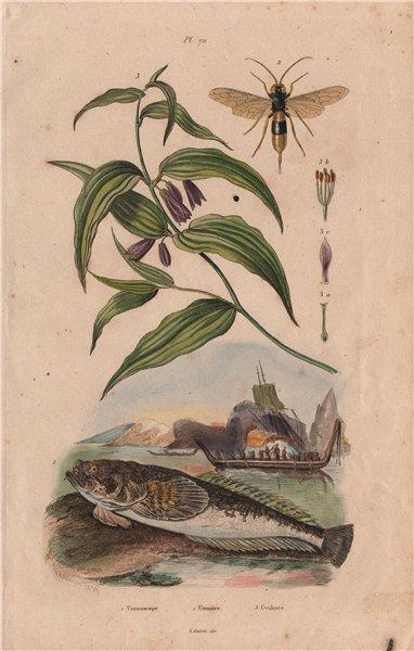 Associate Product Uranoscopus (Atlantic Stargazer) Urocère (Black horntail sawfly) Uvularia 1833