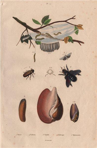 Volute. Vrillette (Beetle). Vulselle. Xylocopa (Carpenter Bee). Yponomeuta 1833