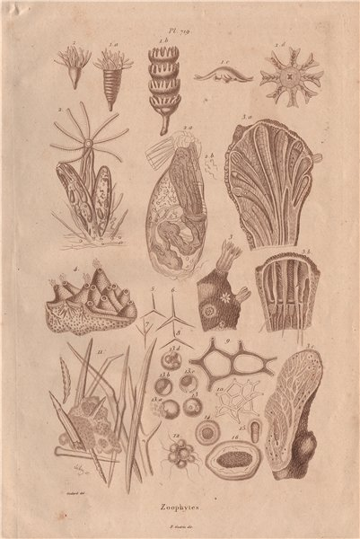 Associate Product ZOOPHYTES. various. Animals 1833 old antique vintage print picture