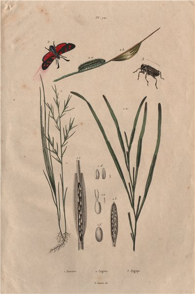 Associate Product Zostera marina/eelgrass/seawrack.Zygaena/Six-spot Burnet.Zygopinae/Weevil 1833