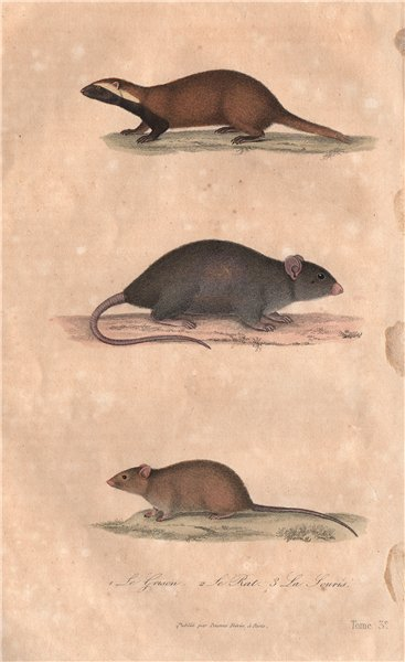 Associate Product MAMMALS. Grison (Greater Grison); Rat; Souris (Mouse). BUFFON 1837 old print