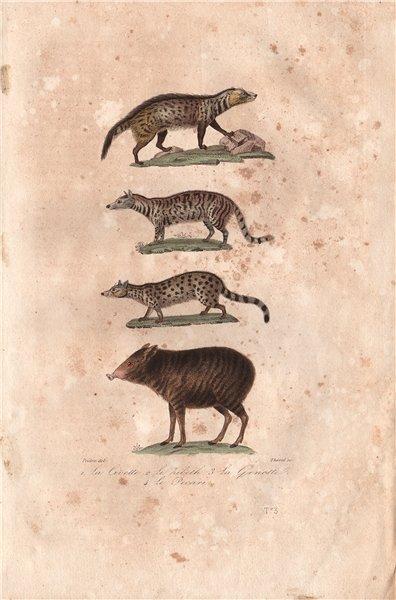 Associate Product MAMMALS. Civette (Civet); Kibeth; Genette (Genet); Pecari. BUFFON 1837 print