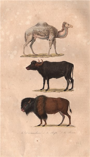 Associate Product UNGULATES. Dromadaire (Dromedary); Buffle (Buffalo); Bison. BUFFON 1837 print