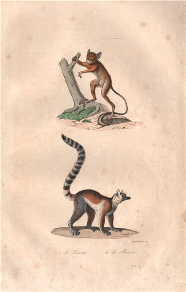 PRIMATES. Tarsier; Mococo (Ring-tailed Lemur). BUFFON 1837 old antique print