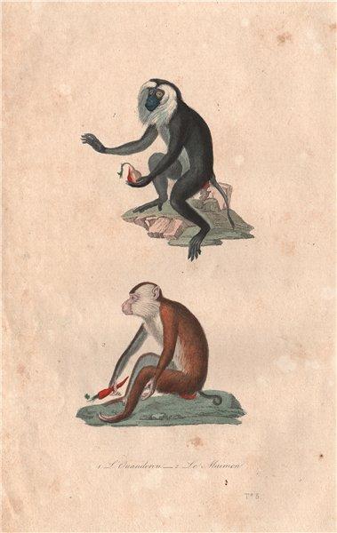 PRIMATES. Ouanderou (Macaque); Maimon (Mandrill). BUFFON 1837 old print