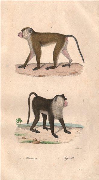 Associate Product PRIMATES. Macaque; Aigrette (Pappus). BUFFON 1837 old antique print picture