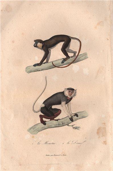 Associate Product PRIMATES. Mouslac (Moustached Guenon); Douc. BUFFON 1837 old antique print
