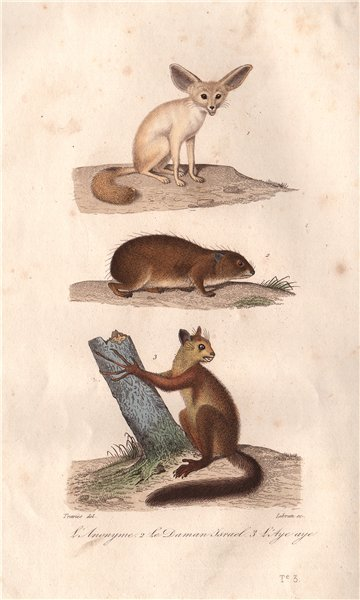 Associate Product MAMMALS. Anonyme (Fennec Fox); Daman Israel (Guinea Pig); Aye Aye. BUFFON 1837