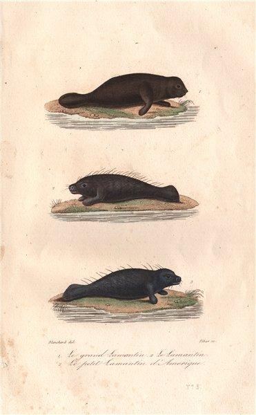 Associate Product MANATEES. Grand Lamantin; Lamantin; Petit Lamantin d'Amerique. BUFFON 1837