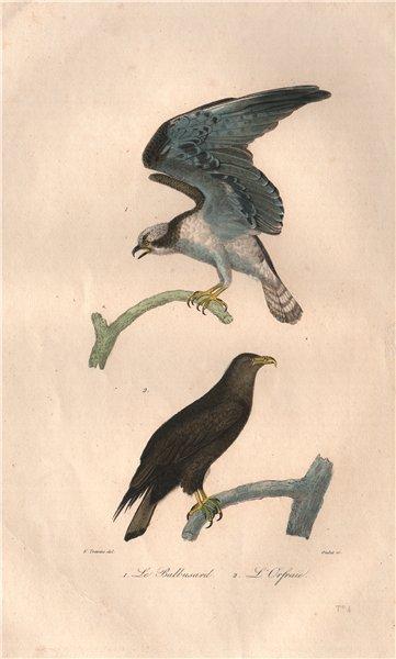 Associate Product RAPTORS. Balbuzard (Osprey); Orfraie (White-tailed Eagle). BUFFON 1837 print