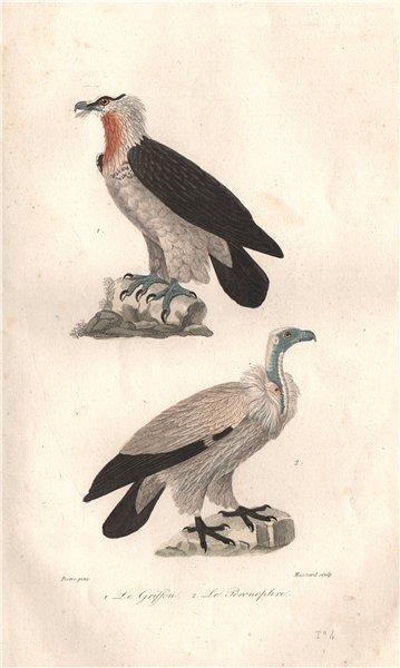RAPTORS. Griffon (Griffin); Percnoptère (Egyptian Vulture). BUFFON 1837 print