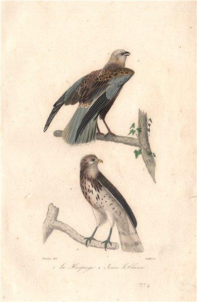 Associate Product RAPTORS. Harpaye (Western Marsh Harrier); Short-toed Snake Eagle. BUFFON 1837
