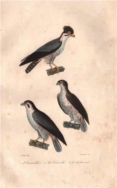 Associate Product RAPTORS. Emérillon (Merlin); Crecelle (Kestrel); Hobereau (Hobby). BUFFON 1837
