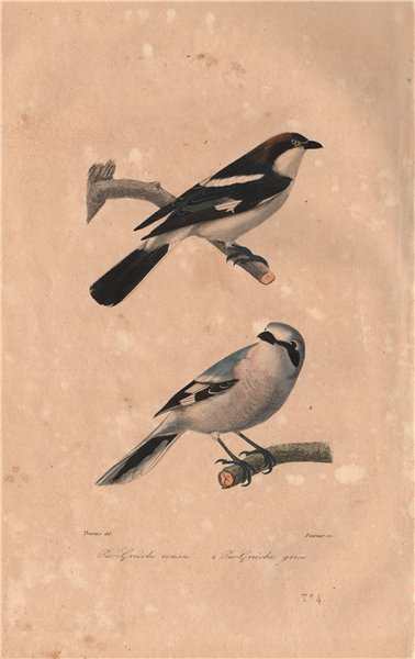 Associate Product SHRIKES. Pie-Grièche tête rousse/Grise. Woodchat/Great Grey Shrike. BUFFON 1837