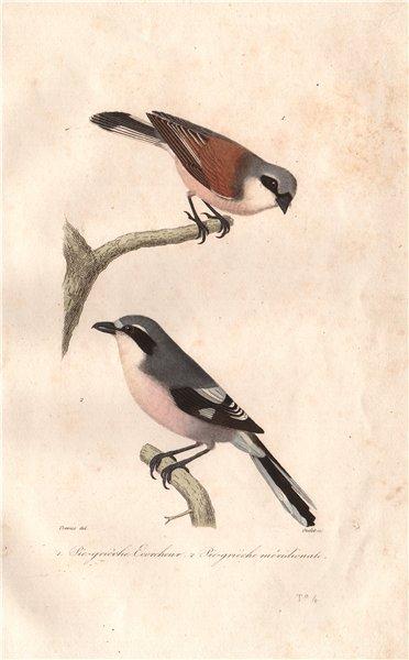Associate Product SHRIKES. Red-Backed Shrike; Southern Grey Shrike. Pie-Grièche. BUFFON 1837
