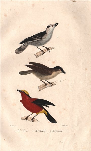 BIRDS. Vanga; Schetbé (Rufous Vanga); Yellow-crowned Gonolek. BUFFON 1837