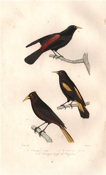 Associate Product CACIQUES. Red-rumped, Yellow-rumped & Yellow-winged Caciques. BUFFON 1837