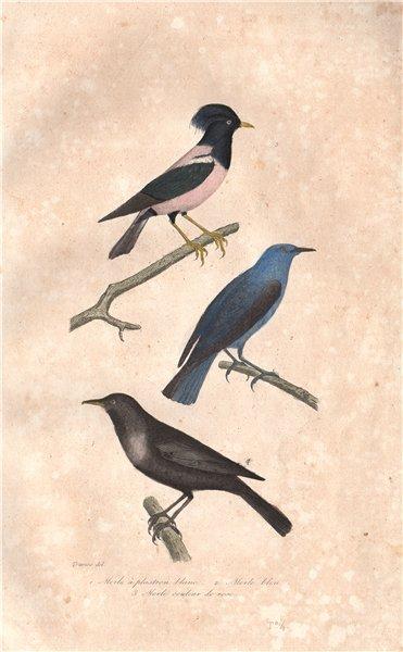 Associate Product BIRDS. Ring Ouzel; Blue-eared Glossy Starling; Rosy Starling. BUFFON 1837