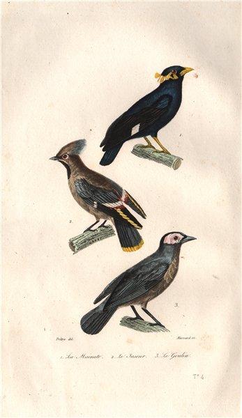 BIRDS. Mainate (Mynah); Jaseur (Waxwing); Goulin (Coleto). BUFFON 1837 print