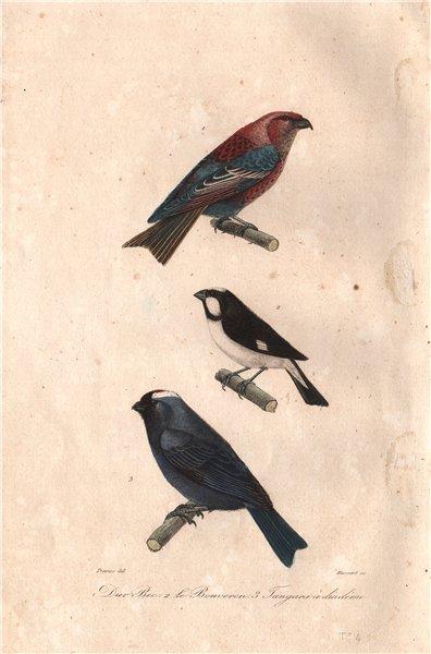 Associate Product BIRDS. Pine Grosbeak; Lined Seedeater; Dimademed Tanager. Tangara. BUFFON 1837