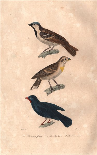 Associate Product BIRDS. House Sparrow; Rock Sparrow; Lesser Antillean Bullfinch. BUFFON 1837