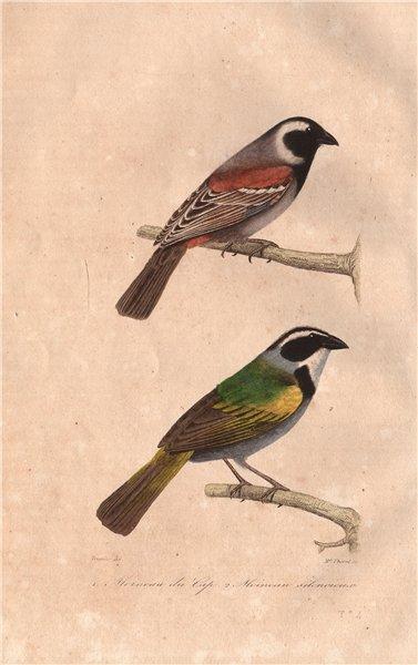 Associate Product SPARROWS. Moineau du Cap & Silencieux (Cape & Silent Sparrows). BUFFON 1837