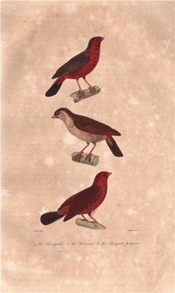 Associate Product BIRDS. Western Bluebill; Serevan; Bengali Piqueté (Red Avadavat). BUFFON 1837