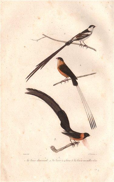 Associate Product WHYDAH BIRDS. Pin-tailed, Broad-tailed Paradise & Sahel Paradise. BUFFON 1837