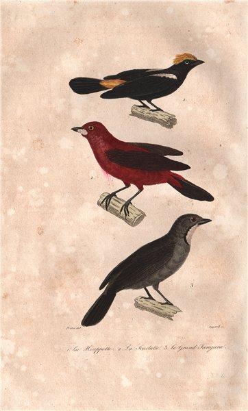 Associate Product BIRDS. Bustard; Scarlet Tanager; Great Tanager. Tangara. Houpette. BUFFON 1837