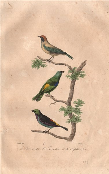 Associate Product TANAGERS. Burnished-buff, Green-headed & Paradise Tanagers. BUFFON 1837 print