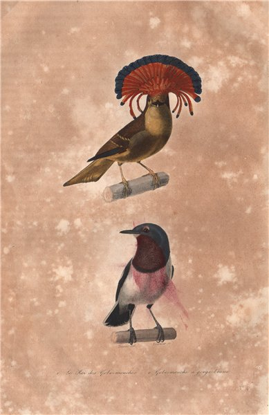 Associate Product FLYCATCHERS. Roi des Gobemouches (Amazonian Royal Flycatcher). BUFFON 1837