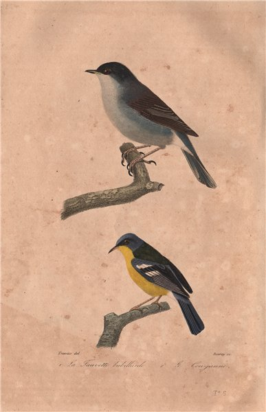 Associate Product WARBLERS. Lesser Whitethroat; Grey-Crowned Yellowthroat. Fauvette. BUFFON 1837