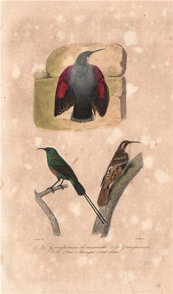Associate Product BIRDS. Wallcreeper; Nuthatch; Sunbird. Souimanga. Grimpereau. BUFFON 1837