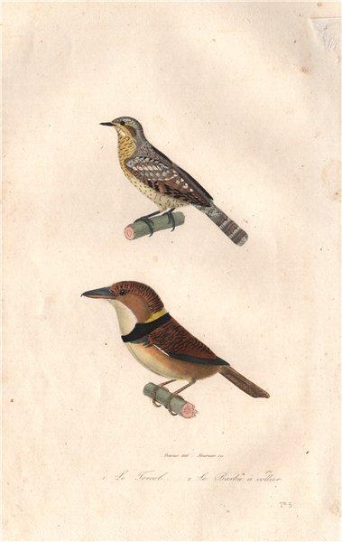 Associate Product BIRDS. Torcol (Wryneck); Barbu à Collier (Fire-tufted Barbet). BUFFON 1837