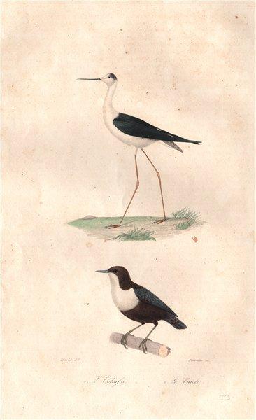 Associate Product SHOREBIRDS. Echasse (Stilt); Cuiele. BUFFON 1837 old antique print picture