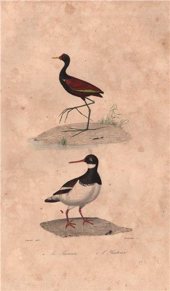 Associate Product SHOREBIRDS. Jacana; Huitrier (Oystercatcher). BUFFON 1837 old antique print