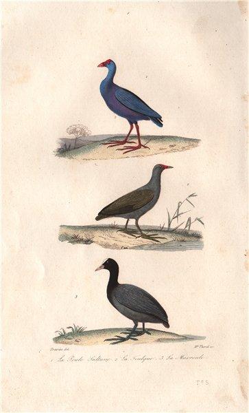 Associate Product RAILS. Purple Swamphen; Common Moorhen; Eurasian Coot. Macroule. BUFFON 1837