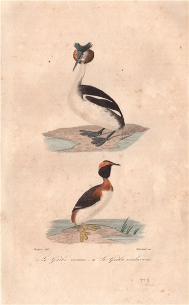 Associate Product GREBES. Grébe cornu & esclavon (Great Crested & Horned Grebes). BUFFON 1837