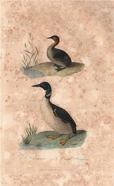 Associate Product WATERBIRDS. Castagneux (Grebe); Grand Plongeon (Diver/Loon). BUFFON 1837 print