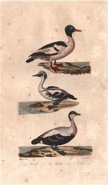 Associate Product DUCKS. Harle (Merganser); Piette (Smew); Eider. BUFFON 1837 old antique print