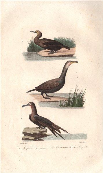 Associate Product SULIFORMES. Petit Cormoran (Cormorant); Frégate (Frigatebird). BUFFON 1837