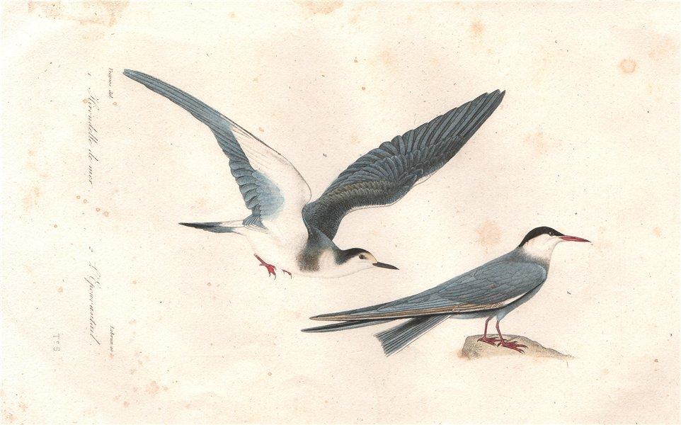 Associate Product SEABIRDS. Hirondelle de mer (Common Tern); Épouvantail. BUFFON 1837 old print