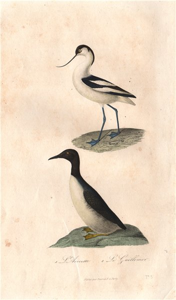 Associate Product SHOREBIRDS. Avocette (Avocet); Guillemot. BUFFON 1837 old antique print