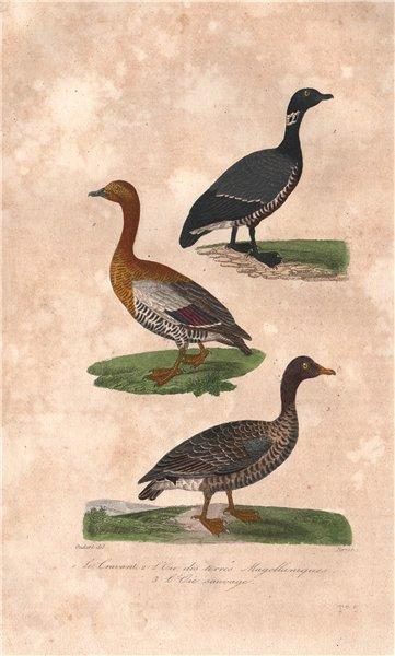 Associate Product GEESE. Brant Goose; Ashy-headed Goose; Wild or Greylag Goose. BUFFON 1837