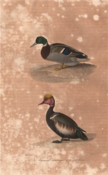 Associate Product FOWL. Canard Sauvage (Wild Duck); Milloin. BUFFON 1837 old antique print